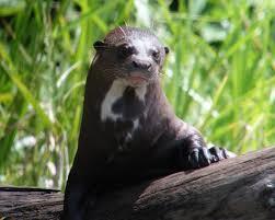 Giant Otter pic