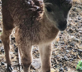 Patricia's Captains Charity this year -  An Alpaca on the farm gave birth to Juno in June